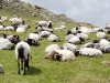 sheeps-in-the-mountains-of-spain-2